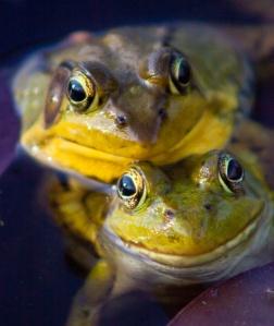 David Mazor, Frogs, 2012